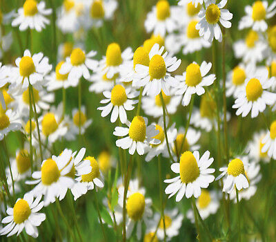 'CHAMOMILE'  TRUE CHAMOMILE 1000 Seeds herb seeds tea recipe included