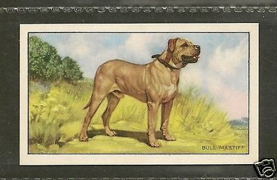 1936 UK Dog Art Full Body Study Gallaher Series A Cigarette Card BULLMASTIFF