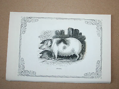 Antique Victorian Print Engraving Natural History 1840's Swine