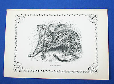 Antique Victorian Print  Engraving Natural History 1840's The Leopard