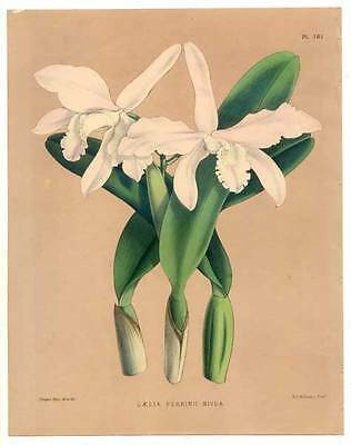 Orchidee - LAELIA PERRINII NIVEA - Lithographie Fitch 1885