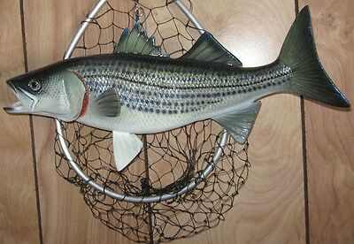 "Striped Bass Taxidermy Quality 13"" Wall Mount"