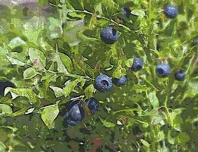 10 x Bare Root Bilberry plants
