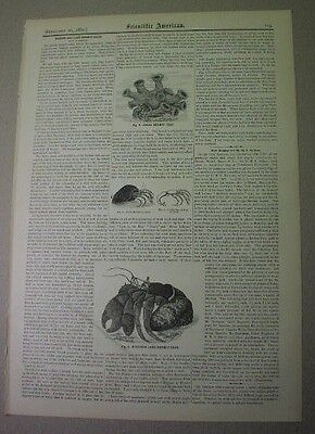 1880: HERMIT CRABS, Marine & land- article & 3 illusts. from Scientific American