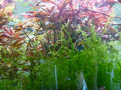 lot de 3 plantes aquarium