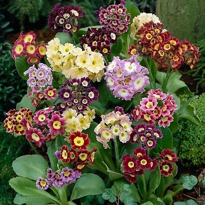 Primula Accord Mix Seed Compact Biennial Plant 9 Colours Grows 20 cm Likes Shade