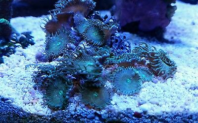 Green Palyanthzoa paly zoa soft coral frag wysiwyg marine reef