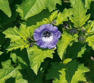 Nicandra Physaloides Seeds The Shoo-Fly Plant