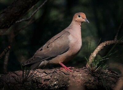 Mourning Dove - 8 x 10 Glossy Photo Picture