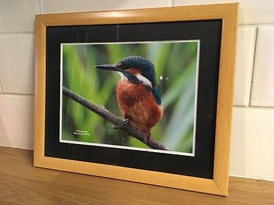 framed wildlife photo picture of a  kingfisher