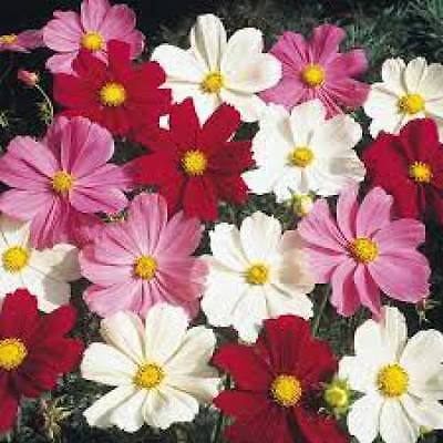Cosmos Sensation Mixed Stunning Annual Flower Seed