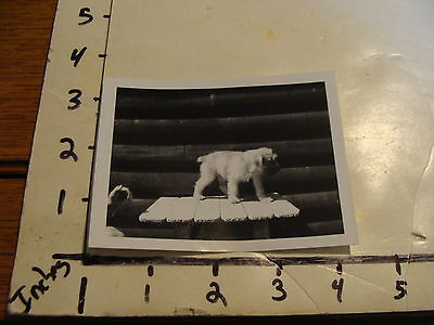 Vintage photo: B&W of SOFT COATED WHEATEN TERRIER puppy, circa 1960's