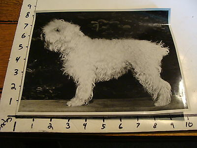Vintage B & W photo: In show stance, SOFT COATED WHEATEN TERRIER