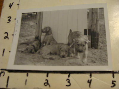 Vintage 1965  B & W photo: SOFT COATED WHEATEN TERRIER PUPPIES