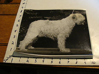 Vintage B & W photo: SOFT COATED WHEATEN TERRIER IN SHOW STANCE LOOKING RIGHT