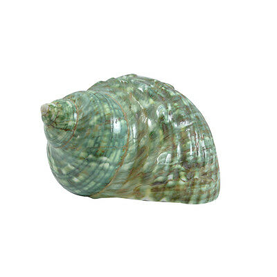 "Jade Turbo Polished Shell Seashell 4"" up Beach Decor & Crafts"