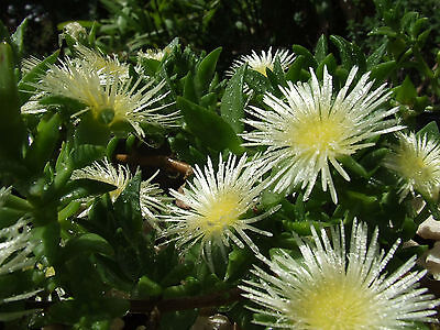 Kanna (Sceletium tortuosum) dried fermented powder 10 grams roots included