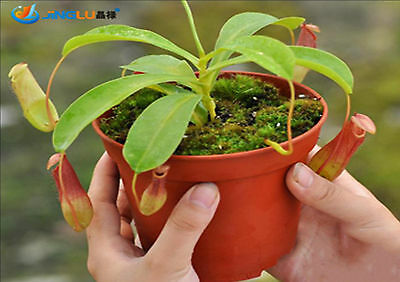 50 Pcs / Bag, Nepenthes Seeds, Diy Potted Plants, Indoor/ Outdoor Pot Seed