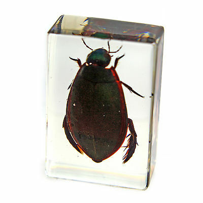 Real Great Diving  Beetle Specimen Paperweight (PW116)