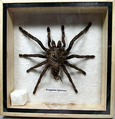 Real Exotic Black Giant Spider Taxidermy Flying In Wood Framed