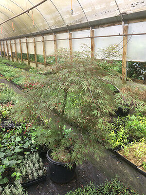 Weeping Japanese Maple Tree - HEARTBEAT - 330mm pot - 1.2m tall