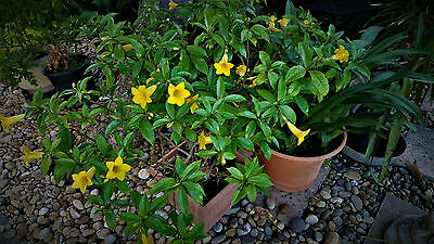 1  Allamanda schottii Bush,Garden Shrub, Tree, Evergreen, Established ,In Flower