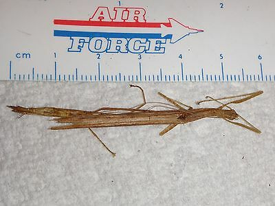 Phasmatodea Phasmid Species from Malaysia #2819 Walkingstick Insect