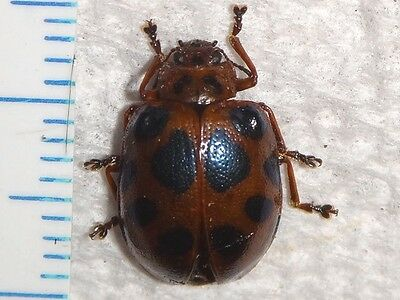 Coleoptera Chrysomelidae Beetle species Malaysia #2854-5 Insect Collection Bug