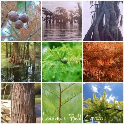 Bald Cypress, Taxodium distichum, Northern, Tree Seeds (Fast, Hardy, Fall Color)