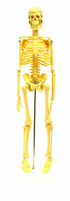 """Micro Skeleton, Small Scale Anatomical Model (16.5"""" Height)"""