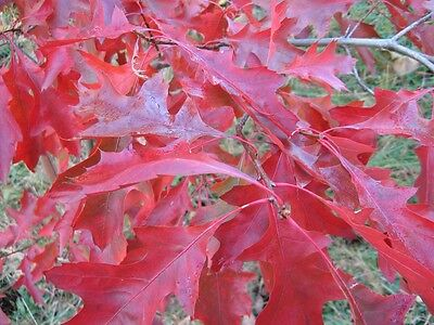 Scarlet Oak, Quercus coccinea, Tree Seeds (Acorns) Showy Fall Color, Fast, Hardy