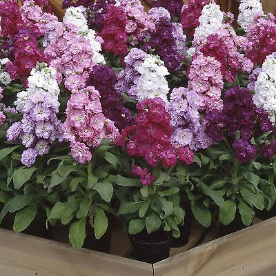 Stock Iron Mix Six Colours Scented Annual Matthiola incana cv NEW RELEASE