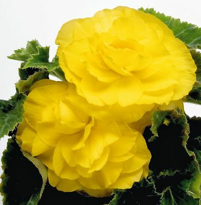 Tuberous Begonia Seed New Star Yellow Double Summer Flowers NEW RELEASE