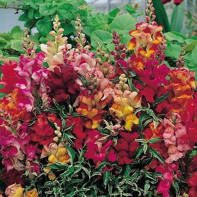 Snapdragon 'Frosted Flames' / Antirrhinum majus / 100 Seeds