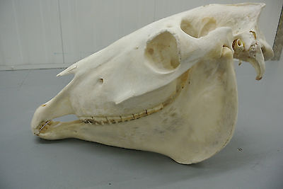 Horse's head total skull science medicine taxidermy art education collectible 2