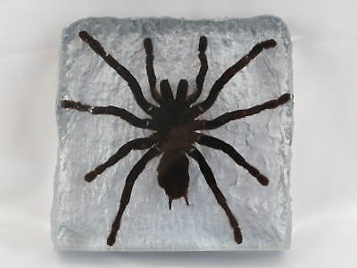 Tarantula -  Eurypeima spincrus in  frame - real - taxidermy