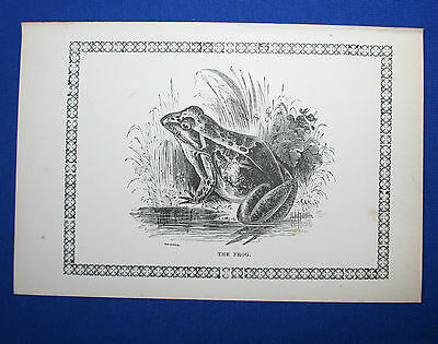 Antique Victorian Print Engraving Natural History 1840's The Frog