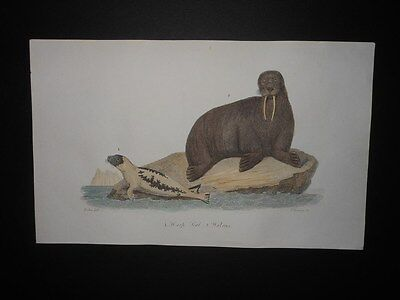 Harp Seal And Walrus 1850-1860 Hand Colored Antique Engraving Scarce