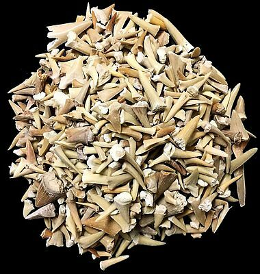 One Pound of Genuine Shark Teeth - Fossilized Moroccan Teeth! - Wholesale Bulk