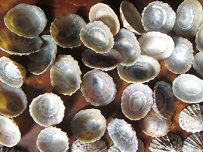 Large Limpet Shells Bulk Craft Natural Sea Aquarium Beach Wedding Decoration UK