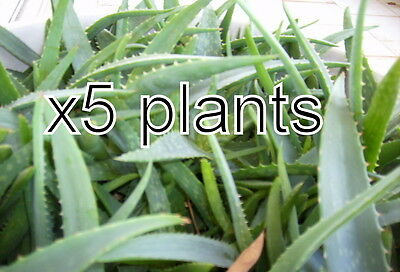 5 Aloe Vera Plants Trees Organic large Plants Bare Root 7-8 Inches from our farm