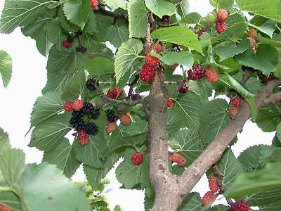 Black Mulberry - Morus Nigra - 100 seeds - Tree - Berries - Fruit - Hedging