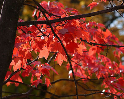 Red Maple - Acer Rubrum - 50 seeds - Ornamental Tree - Stunning Autumn Colours