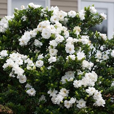 Cape Jasmine - Gardenia Jasminoides - 50 seeds - Shrub - Fragrant - Ornamental
