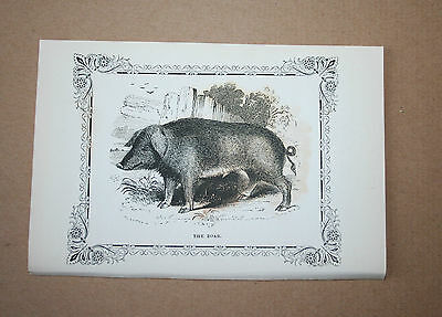 Antique Victorian Print Engraving Natural History 1840's The Boar