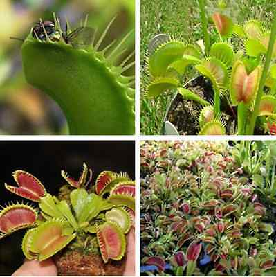 500pcs A Pack Venus Fly Trap Dionaea Muscipula Flower Carnivorous Plant Seed New