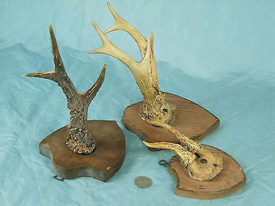 Set of 3 Antique Roe Deer Antlers on wooden Trophy-Plaques Wallmounts 67