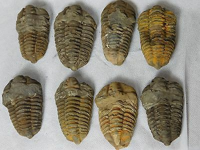 Large Trilobite Flexicalymene  Sea Fossil Great Gift Morocco