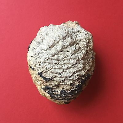 Museum Quality Large Well Preserved & Detailed Pine Cone Natural Fossil W: 129g