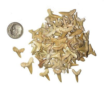 100 Fossilized Shark Teeth from Morocco